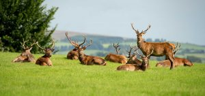 Deers Killarney National Park - Destination Killarney